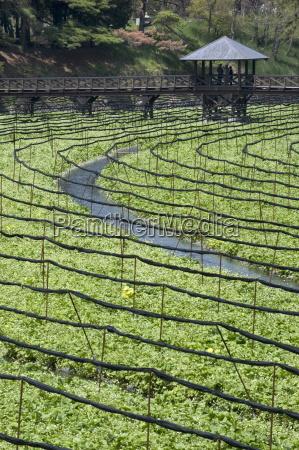 japanese horseradish plants wasabi growing at