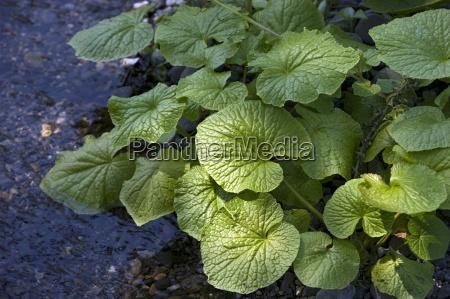 japanese horseradish plant wasabi growing at