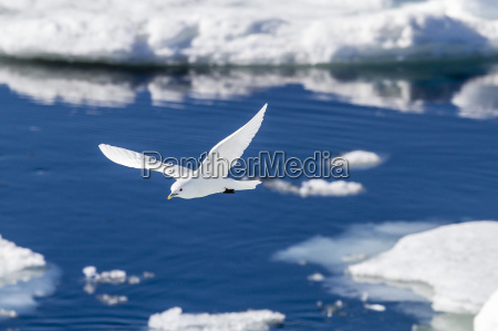 adult ivory gull pagophila eburnea bear