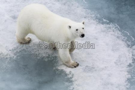 a curious young polar bear ursus