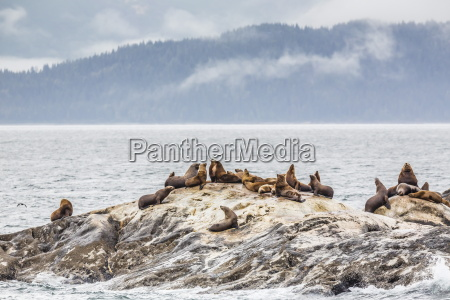 northern steller sea lions eumetopias jubatus