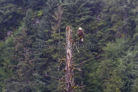 adult bald eagle haliaeetus leucocephalus near