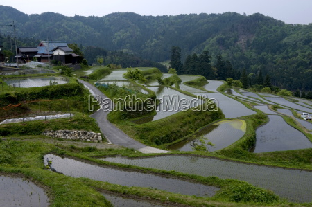 flooded rice paddy terraces in early