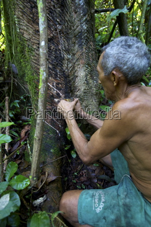 taking latex from a rubber tree