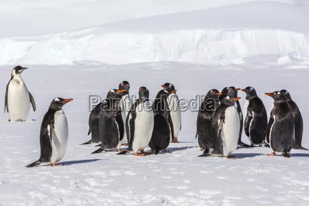 recently fledged emperor penguin aptenodytes forsteri