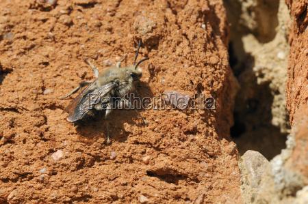 cuckoo bee melecta albifrons a parasite
