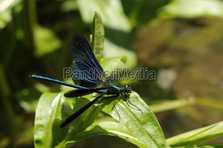 male banded demoiselle damselfly calopteryx splendens