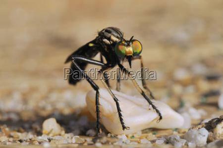 robber fly saropogon sp hunting for