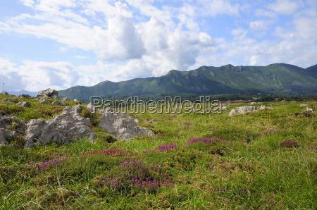 mediterranean heather erica multiflora flowering with