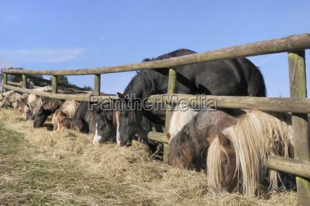 row of miniature horses equus caballus