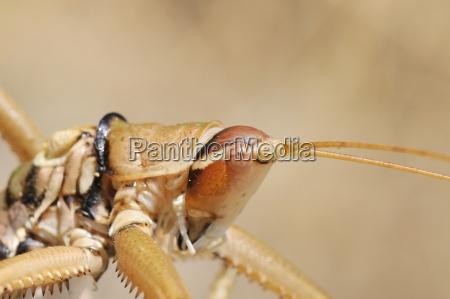 close up of balkan sawing cricket