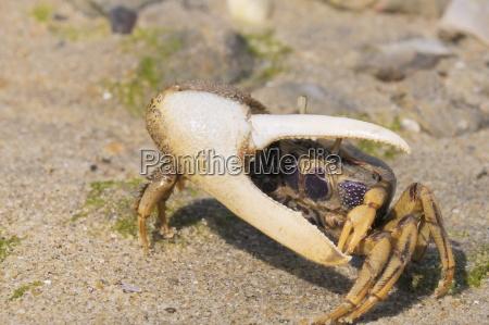 male european fiddler crab uca tangeri