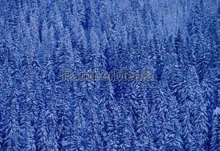 snow covered pine trees on gotchsna