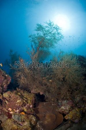 black coral and sunburst st lucia