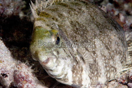 white spotted rabbitfish siganus canaliculatus in