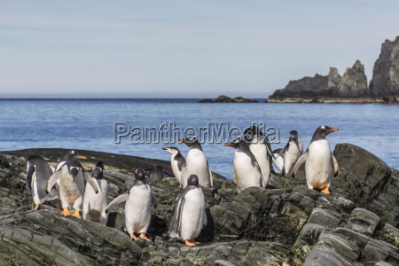 adult gentoo penguins pygoscelis papua and
