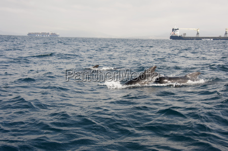 pilot whales in the straits of
