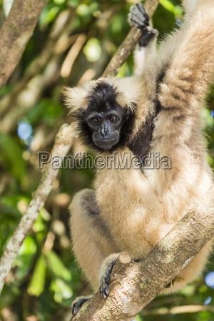 adult female pileated gibbon hylobates pileatus