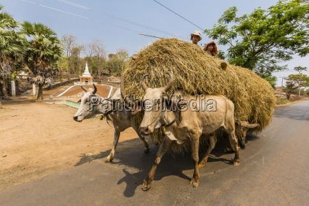 ox drawn cart near wat phnom