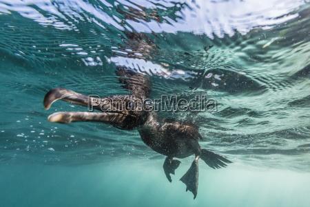 curious flightless cormorant phalacrocorax harrisi underwater