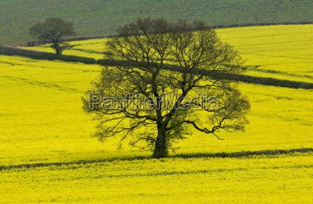 rape seed crop in a field