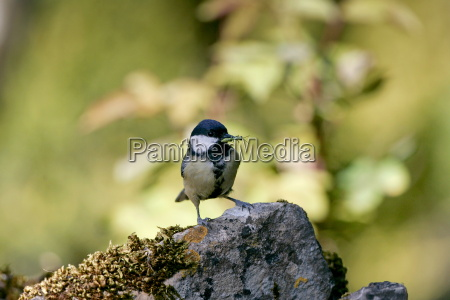 great tit holding an insect in