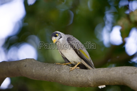 noisy mynah bird royal botanical gardens