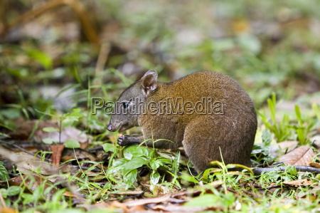 musky rat kangaroo eats nut on