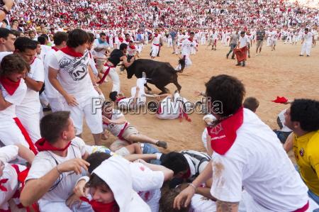 amateur bullfight with young bulls san