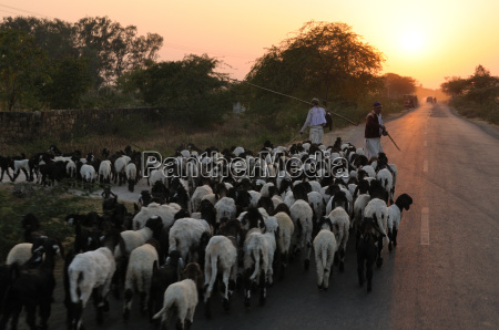 shepherd and flock returning home as