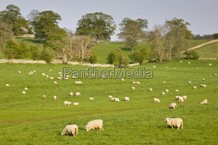 sheep grazing chedworth gloucestershire the cotswolds