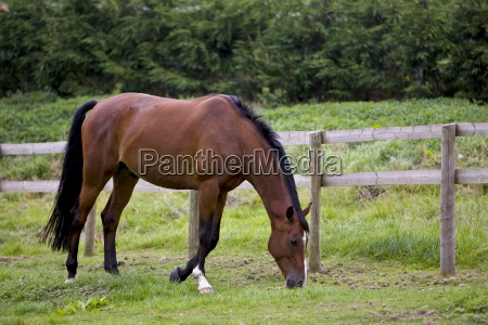 bay horse grazing in oxfordshire united