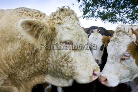 bull nuzzles up to cows hazleton