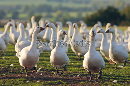 geese farm oxfordshire united kingdom free