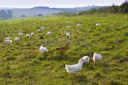 free range chickens of breed isa