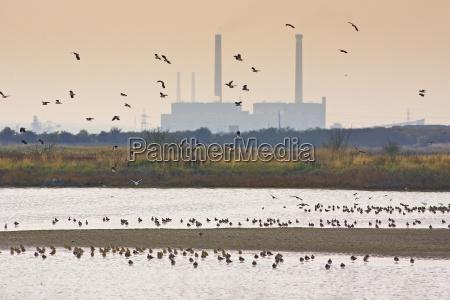 migratory lapwings and waders at thames