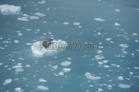 harbour seal on ice floe glacier