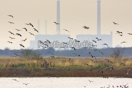 migratory lapwings at thames estuary