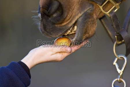 horse being fed an apple oxfordshire