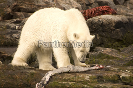 polar bear feeding on a seal