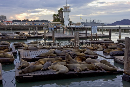 california sea lions rest on floating