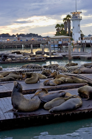 californian sea lions rest on floating