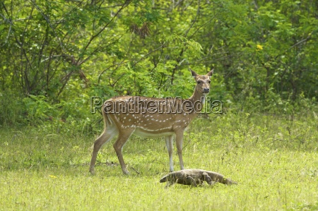 ceylon spotted deer hind and land