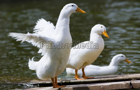 peking ducks in beijing china peking