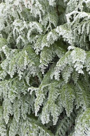 winter scene hoar frost on fir