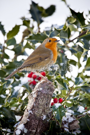 robin in traditional winter scene with