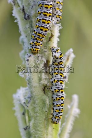 mullein shargacucullia verbasci moth caterpillars feeding