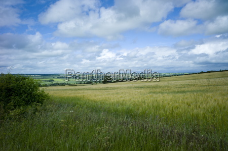 barley cereal crop and landscape oxfordshire