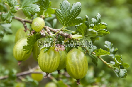 gooseberries ribes grossularia in english