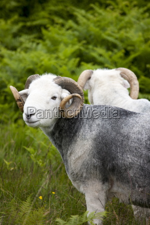 traditional herdwick sheep ram in the